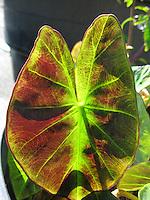 A kalo (or taro) leaf lit by the sun, Big Island.