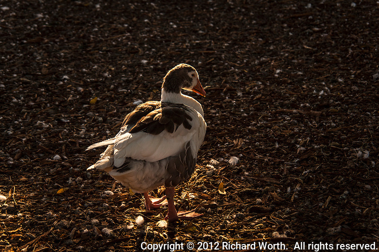 Remarkably unremarkable - a domestic goose, a hybrid of little or no interest to the birding community.  But it's a star of sorts, as it waddles and wanders near the Duck Pond.  San Lorenzo Park, California.