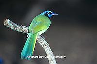 01291-00211 Green Jay (Cyanocorax yncas) Laguna Atascosa NWR   TX