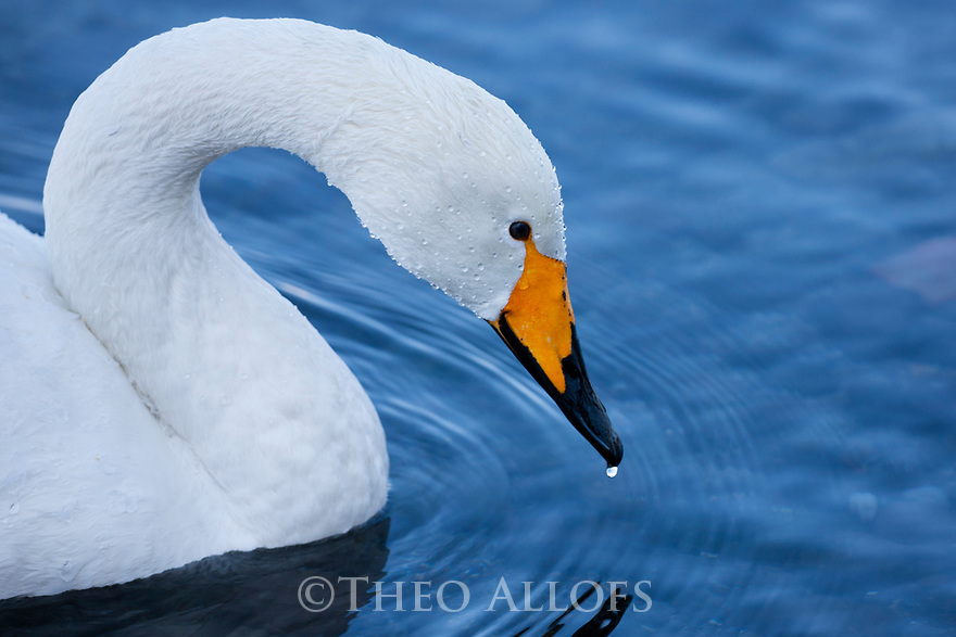 Japan, Hokkaido, whooper swan