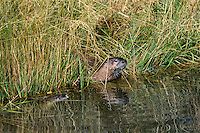 Two North American River Otter (Lontra canadensis) along edge of Snake River, Western U.S., fall.
