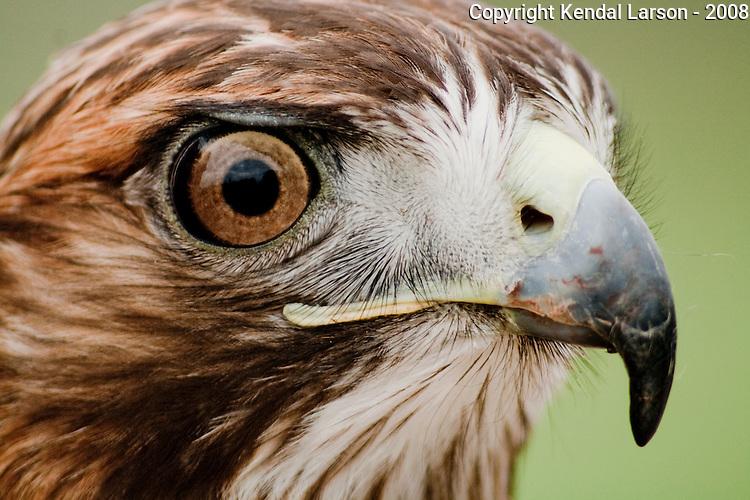 A redtail hawk portrait