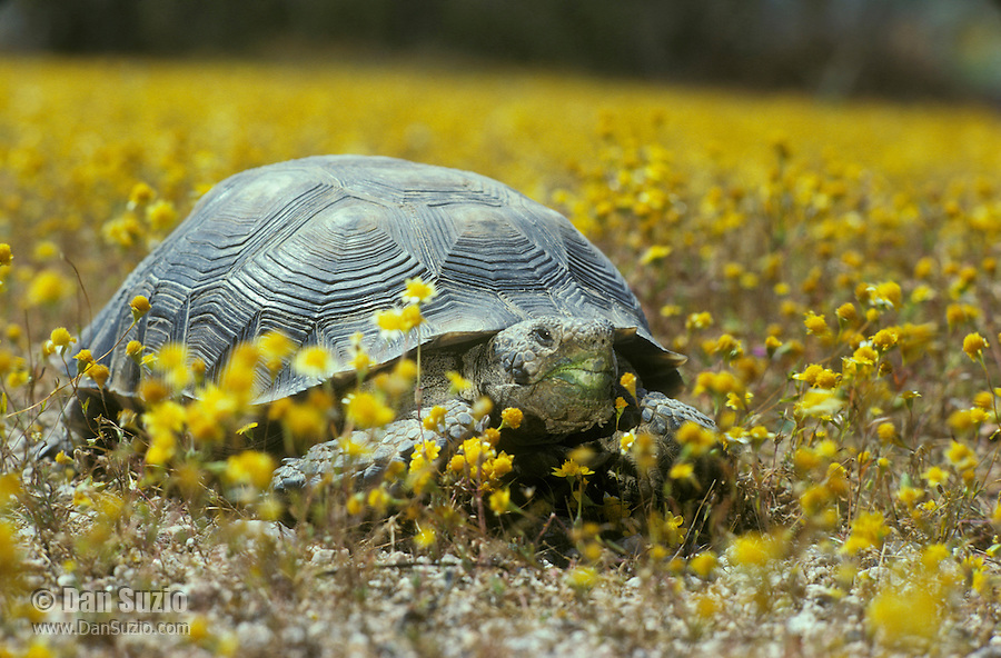 Desert tortoise, Gopherus agassizi (Xerobates agassizi), surrounded by goldfields, Lasthenia chrysostoma. State- and Federally-listed Threatened Species. Desert Tortoise Natural Area, Mojave Desert, California.