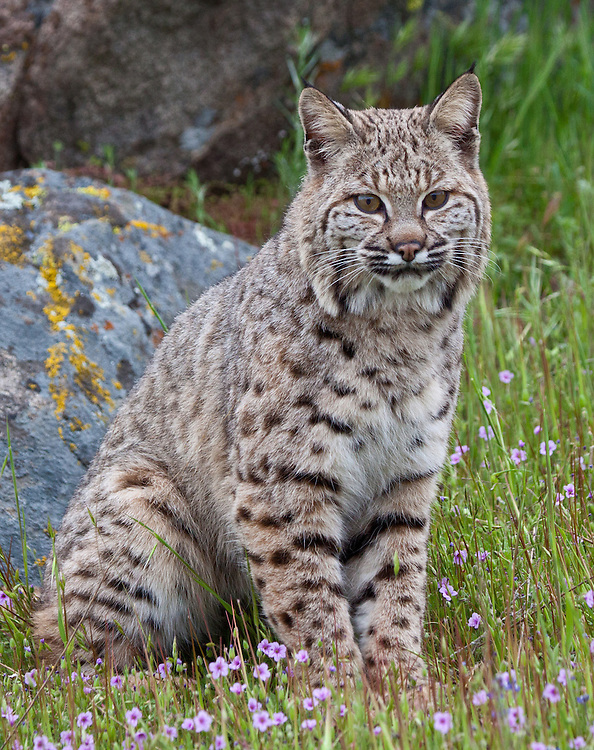Bobcat sitting beside a lichen covered boulder amongst wildflowers - CA