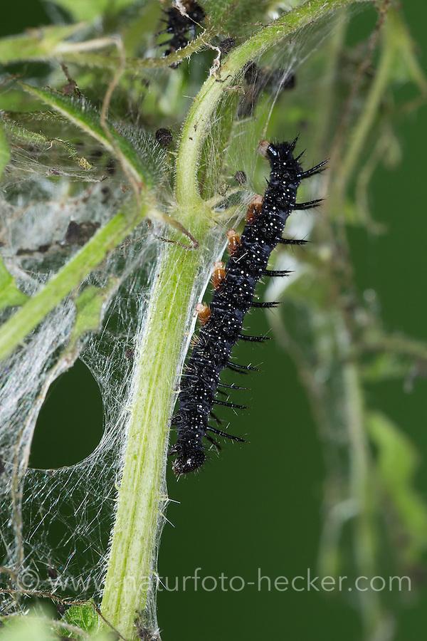 Tagpfauenauge, Raupe, Raupen auf Brennnessel, Tag-Pfauenauge, Aglais io, Inachis io, Nymphalis io, peacock moth, peacock, caterpillars