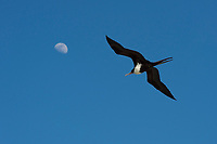 female great frigatebird, 'iwa, or iwa bird, Fregata minor, flying under moon, East Island, French Frigate Shoals, Papahanaumokuakea Marine National Monument, Northwest Hawaiian Islands, Hawaii ( Central Pacific Ocean )