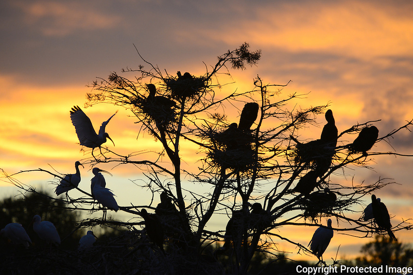 Sunset at Wakodahatchee Wetlands, Delray Beach, Florida, reveals a multitude of birds seeking a place to rest for the night.