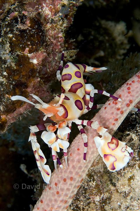 Harlequin shrimp, Hymenocera picta, feeding on a seastar.  Hawaii.