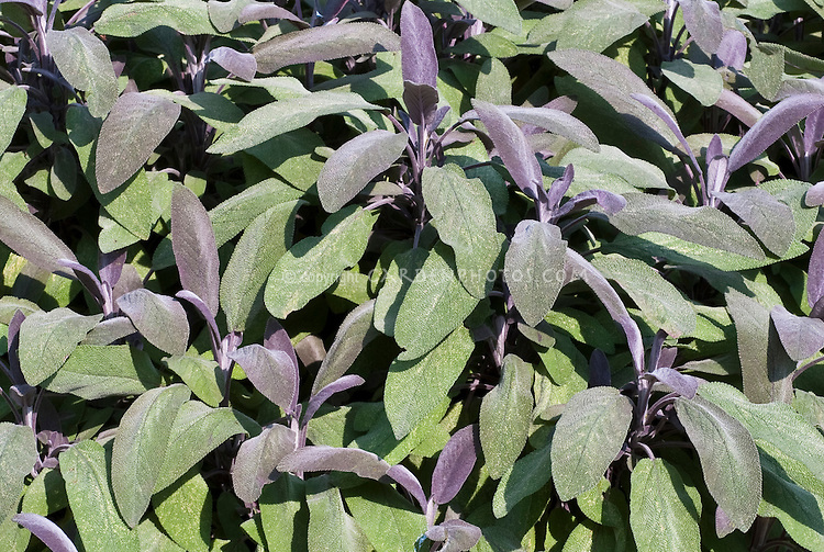 Salvia officinalis 'Purpurascens' culinary sage herb