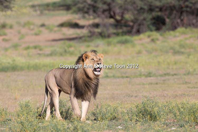 Lion (Panthera leo) male, Kgalagadi transfrontier park, Northern Cape, South Africa, January 2017