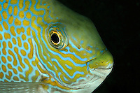 Siganus guttatus, Goldfleck-Kaninchenfisch, Portrait, Gold-saddle rabbitfish, portrait, Bali, Indonesien, Indopazifik, Bali, Indonesia Asien, Indo-Pacific Ocean, Asia