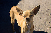 A CURIOUS CHIHUAHUA IN BAJA CALIFORNIA, MEXICO