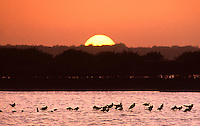 A flock of birds at rest in the marsh at Merritt island, FL, as the sun sets behind the trees.  (Photo by Brian Cleary/www.bcpix.com)