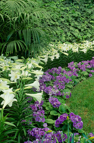 """Primula Obconica """"Juno Blue"""" and Easter Lilies, Calaway Gardens, Georgia"""