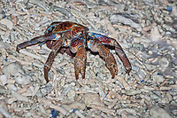 coconut crab, robber crab, or palm thief, Birgus latro, releasing eggs into ocean on coral rubble beach, Christmas Island, Australia