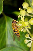 Common Banded Hoverfly, Syrphus ribesii, on Ivy, autumn, Norfolk UK
