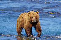 Grizzly Bear staring at photographer from edge of river.  Alaska.