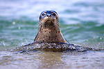 USA; California; La Jolla; San Diego; A seal swimming along the Pacific Coast