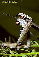 1M41-001x  Praying Mantis adult preening body w/mouth - Tenodera aridifolia sinenesis  © Dwight Kuhn