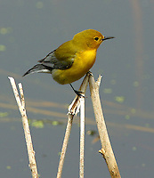 Adult female prothonotary warbler
