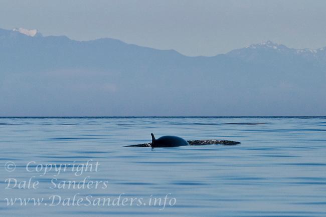 Minke Whale ( Balaenoptera acutorostrata ) in Juan de Fuca Strait off San Juan Island, Washington, USA.