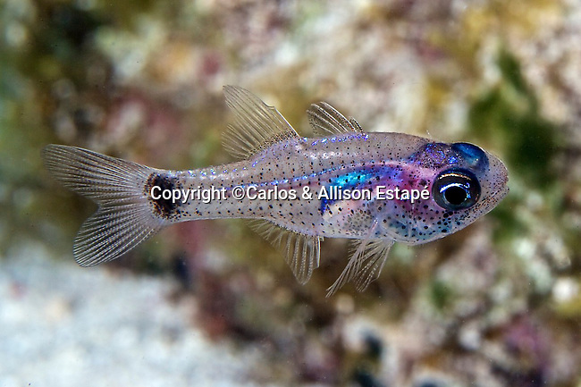 Pheaoptyx conklini, Freckled cardinalfish, Florida Keys