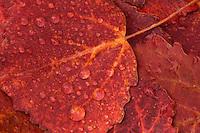 Aspen, Populus tremulus, leaves in autumn colours, Lapland, Sweden.