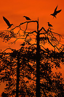 Summer night, bird silhouette, Kuhmo, Finland