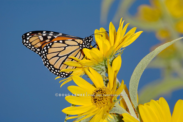 Monarch Butterfly On A Yellow Flower, Danaus plexippus