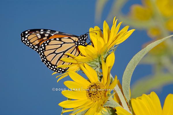 Monarch Butterfly On A Yellow Flower, Danaus plexippus