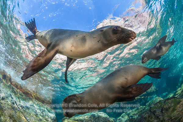 TW2797-D. California Sea Lions (Zalophus californianus), three curious and playful juveniles. This species of eared pinniped ranges from Alaska to Mexico. They were heavily exploited in the 19th century, but populations have recovered and are now increasing. Baja, Mexico, Sea of Cortez, Pacific Ocean.<br /> Photo Copyright &copy; Brandon Cole. All rights reserved worldwide.  www.brandoncole.com