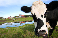 A cow named Demon heads to the barn after grazing in the pasture at the Estrella Family Creamery in Montesano,Wash.  on November 4, 2010.  Every cow has a name on the farm.  The Food and Drug Administration ordered the Estrella Family Creamery in Montesano,Wash.  to stop processing cheeses after it found listeria bacteria on some of the cheeses this year.  The family says they have made many renovations on the farm and the bacteria is only found on the soft cheese, not everything.  They believe they should be allowed to resume making cheese and sell the hard cheeses they have already made at the facility.  The creamery is one of Washington's most famous artisan cheesemakers.  (photo credit Karen Ducey). .