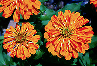 Zinnia 'Whirligig' gold yellow annual flower with red streaks stripes