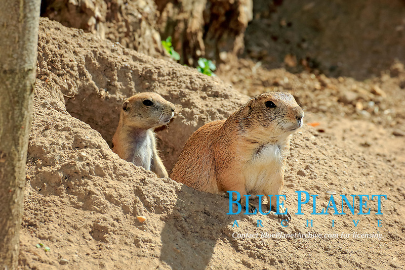 black-tailed prairie dog, Cynomys ludovicianus, adult with young, looking out from its burrow, den, native to North America