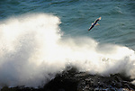 Gull flies over waves crashing over rocks on Oregon coast