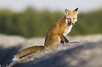 Red Fox sitting on top of some hay bales hunting for mice