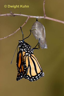 MO04-544z    Monarch emerging from chrysalis,  Danaus plexipuss