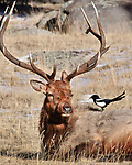 A magpie (Pica pica) appears to be whispering in a bull elk's (Cervus elaphus) ear, Rocky Mountain National Park, Colorado
