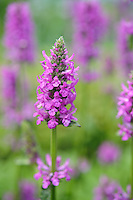 Stachys Officinalis 'Hummelo'