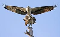 birds, ospreys, osprey, ospreys mating, florida