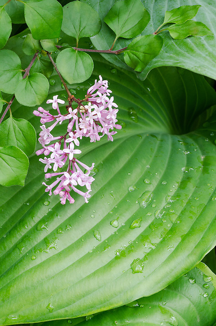 Lilac leaves and blooms are conmtrasted against Hosta leaves, suburban garden, Illinois