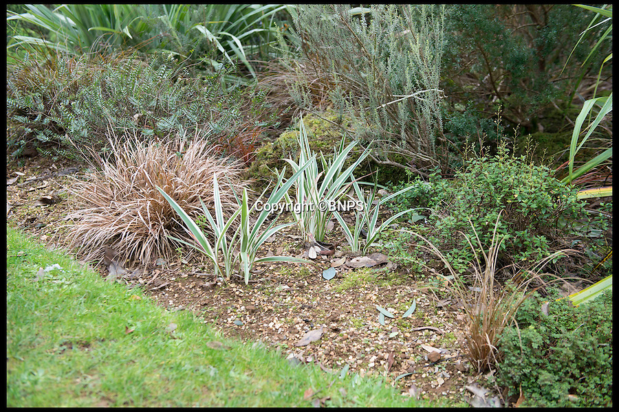 """BNPS.co.uk (01202 558833)<br /> Pic: LauraDale/BNPS<br /> <br /> The Abbotsbury Sub-Tropical Gardens, at the site of a missing Tasman Flax Lily.<br /> <br /> The increase in thefts of rare and unusual plants is forcing botanical gardens to take extreme measures to keep green-fingered thieves at bay.<br /> <br /> Garden staff have had to install security cameras and patrol their plants to ensure people armed with rucksacks and hidden gardening tools don't dig them up.<br /> <br /> Between 10 to 15 exotic plants have been stolen from the Sir Harold Hillier Gardens near Romsey in Hampshire this year and Abbotsbury Subtropical Gardens in Dorset has seen about a dozen """"choice"""" plants disappear.<br /> <br /> At Harold Hillier Gardens they suspect most of the thefts have been carried out at night, but at Abbotsbury brazen thieves have been digging plants up at the root in daylight when members of the public could walk past at any minute.<br /> <br /> Barry Clarke, a botanist at Sir Harold Hillier Gardens for 12 years, said the problems with theft seem to have got much worse in the last five years.<br /> <br /> With 180 acres and only 15 garden staff looking after 42,000 plants, they just can't watch every part of the garden and people are making off with rare and expensive plants that are almost impossible to replace.<br /> <br /> Expensive peonies, specialist snowdrops and mahonias so rare they haven't been named yet were among the plants taken and staff have resorted to installing motion cameras to catch the culprits."""