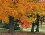 Spokane, WA<br /> Maple trees with brilliant fall foliage in the Garden Springs Creek area of John A, Finch Arboretum