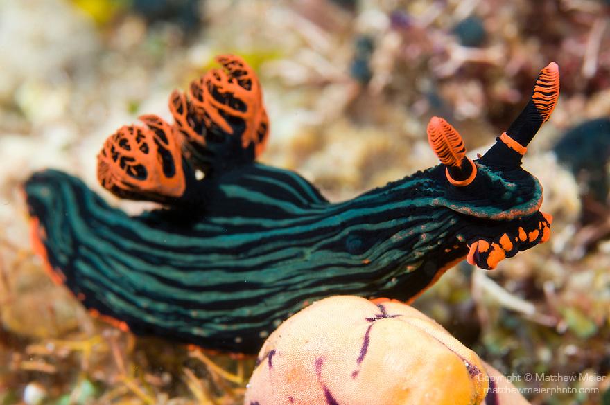 Anilao, Philippines; a Nembrotha kubaryana nudibranch on the coral reef