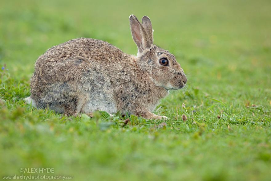 European Wild Rabbit {Oryctolagus cuniculus}, Isle of Lunga, Treshnish Isles, Scotland, June.
