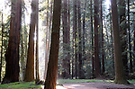 FB 416  Henry Cowell Redwoods State Park.  5x7 PC