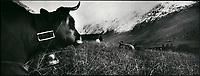 Europe/France/Rhône-Alpes/73/Savoie/Beaufortain: Vaches en estive au chalet d'alpage du plan.