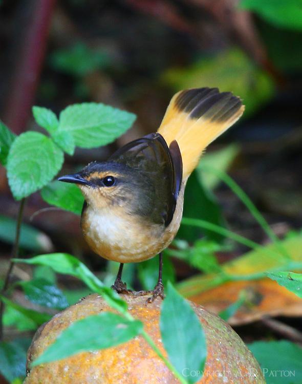 Buff-rumped warbler