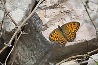 Mauerfuchs, Weibchen, Lasiommata megera, Wall Brown, Wall Brown Butterfly, wall, female, La Mégère, le Satyre