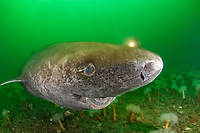 Greenland shark, Somniosus microcephalus, with parasitic copepod, Ommatokoita elongata, attached to its eye, Saint Lawrence River estuary, Quebec, Canada, Atlantic Ocean